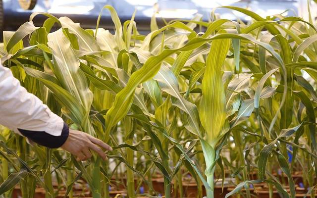 العقود الآجلة للقمح تتراجع 3% مع توقعات ارتفاع المعروض