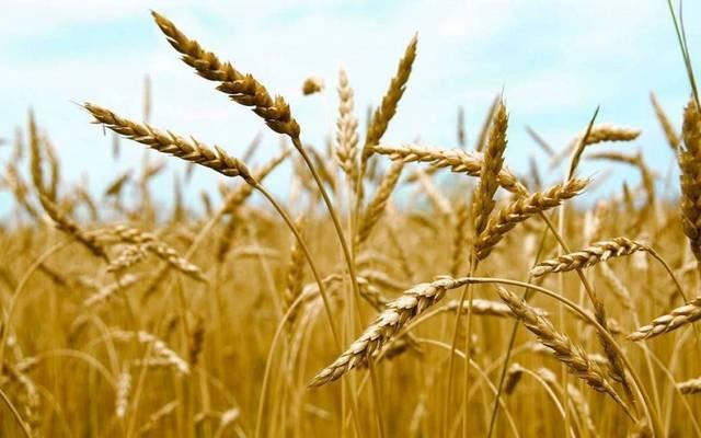 معاون وزير التموين:احتياطي مصر الاستراتيجي من القمح يكفي لـ5 أشهر