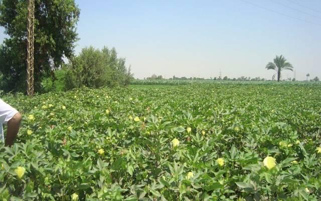 """مصر تستعرض تجربة زراعة القطن """"قصير التيلة"""" شرق العوينات على مساحة 219 فدانًا"""