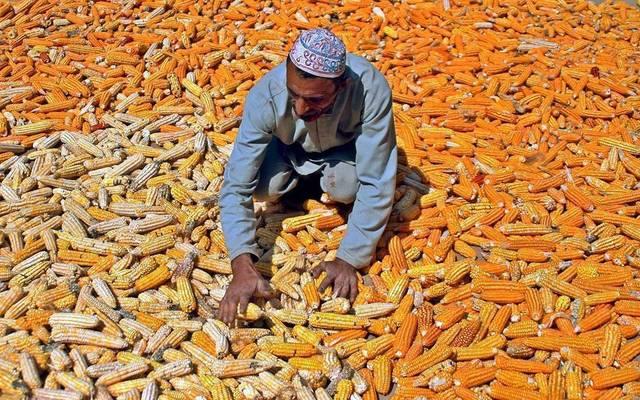 أحد العمال في مصانع الذرة