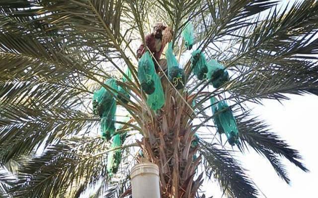 أحد العاملين بزراعة النخيل في الأردن