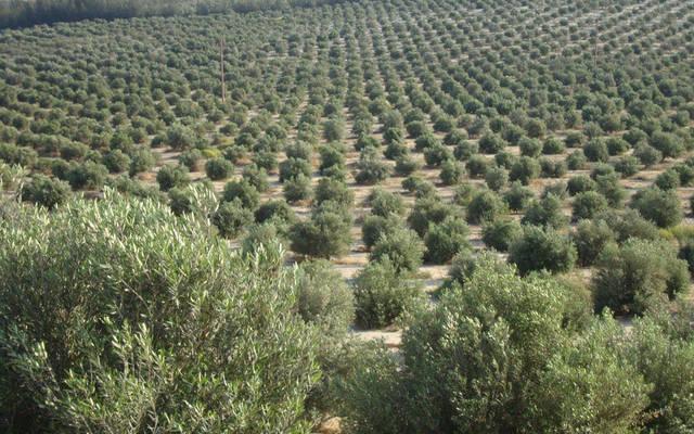 مزرعة زيتون تابعة لأطلس لاستصلاح الأراضي - الصورة من موقع الشركة