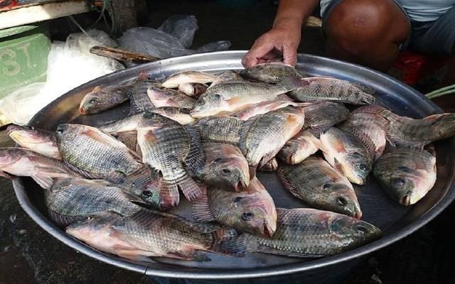 أسماك البلطي في مصر