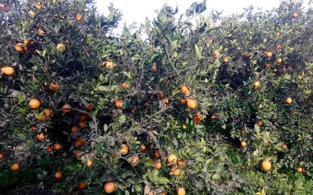 الزراعة تتفق على إجراءات تصدير البرتقال المصري لنيوزيلاندا