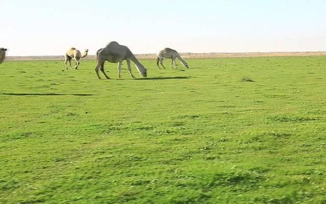 السعودية تصدر تعليمات جديدة بشأن زراعة الأعلاف
