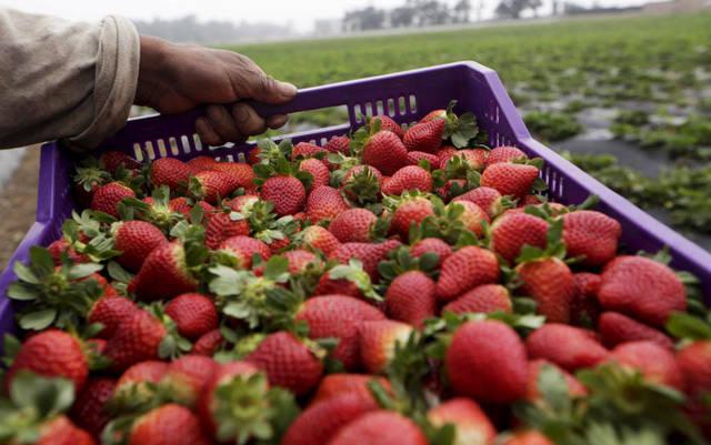 مزارع فراولة في مصر