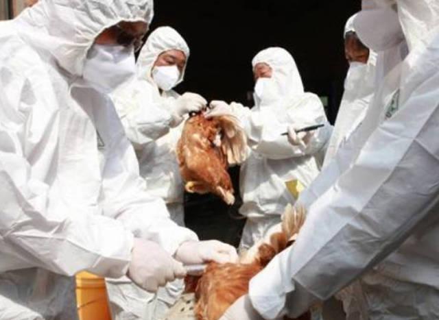 نظراً لتفشي إصابتها بوباء إنفلونزا الطيور