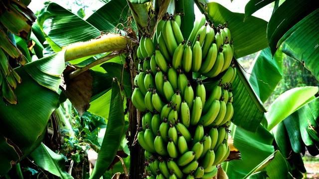 زراعة الموز أرشيفية