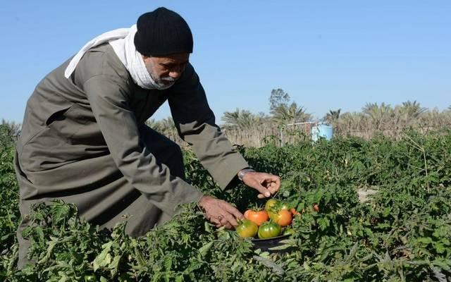 محصول الطماطم - أرشيفية