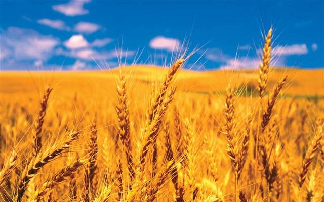 Egypt aims to purchase 3.6 million tonnes of local wheat this season