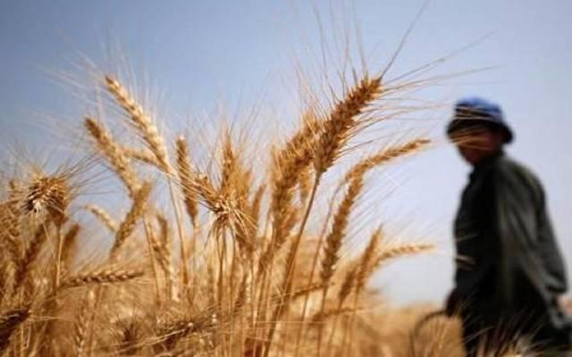 حصاد القمح ـ ارشيفية