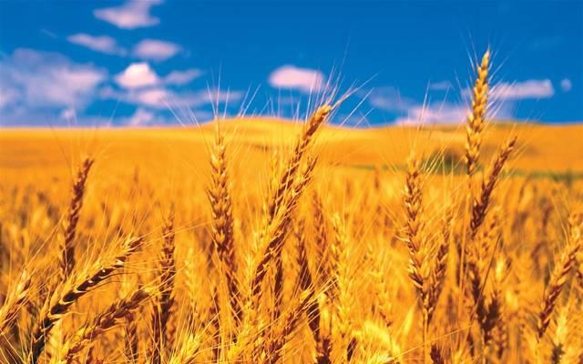 مصر تدرس استيراد القمح الهندي