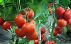 """زراعة البنورة """"الطماطم"""""""