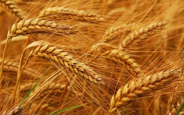 القمح ـ أرشيفية
