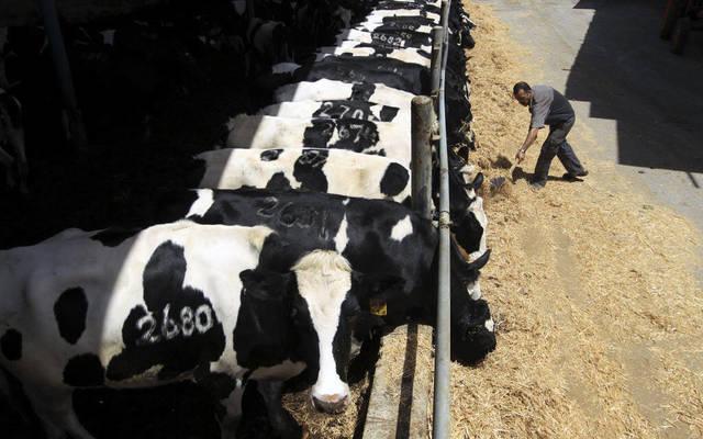 مزارع الأبقار في الشركة
