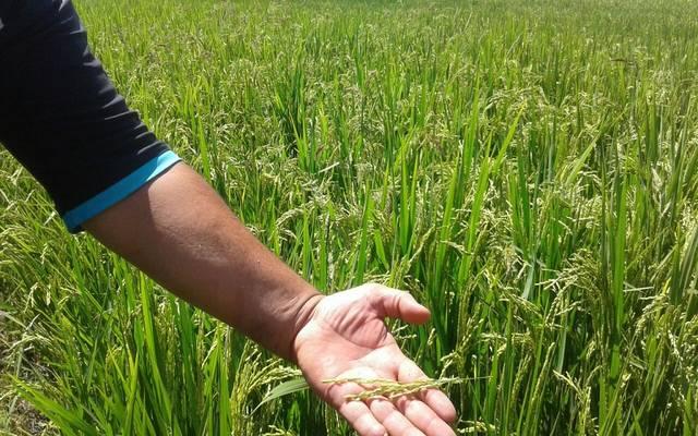 إنتاج العراق من الأرز يرتفع في 2017