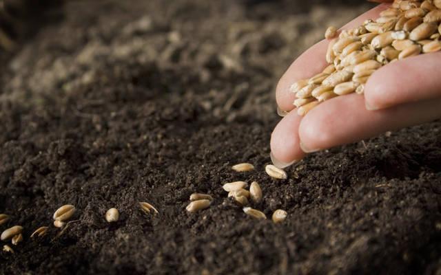 بذور القمح