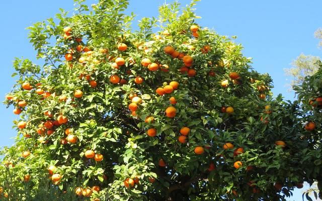 بـ140 مليون دولار..البرتقال المصري يحتل المركز الأول بالأسواق الصينية