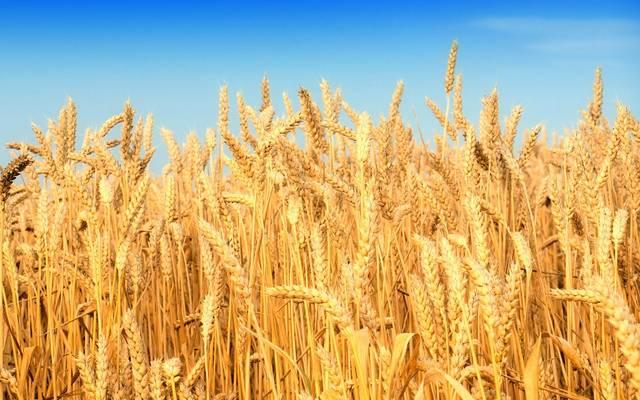 مصر تطرح مناقصة عالمية لشراء كمية غير محددة من القمح