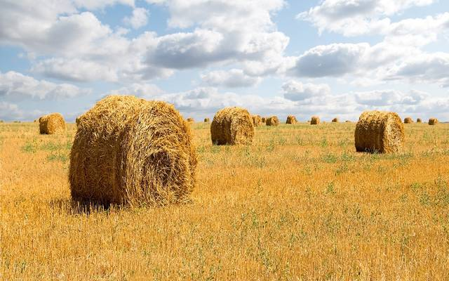 مزارع شعير علفي