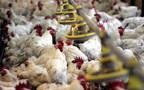 """تربية الدجاج أحد أنشطة """"إنجــاز"""" - الصورة من رويترز آريبيان آي"""