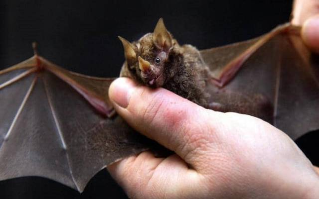 """اكتشاف نوع جديد من فيروس """"كورونا"""" في الخفافيش البريطانية"""