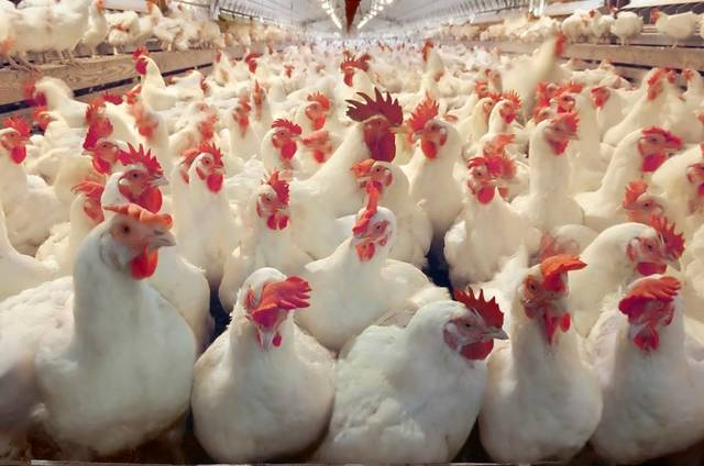 Egypt for Poultry will cut its capital to EGP 85.14 million