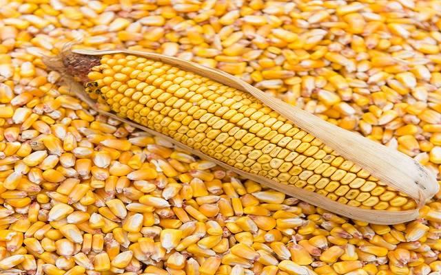 ارتفاع أسعار الذرة عالمياً مع توقعات انخفاض الإمدادات