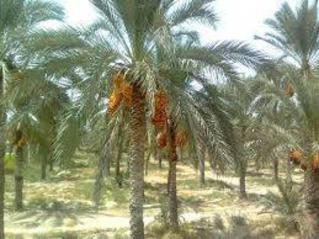 سلطنة عمان: مشروع المليون نخلة يفتح آفاقا جديدة للاستثمار في المجالات الإنتاجية والتصنيعية