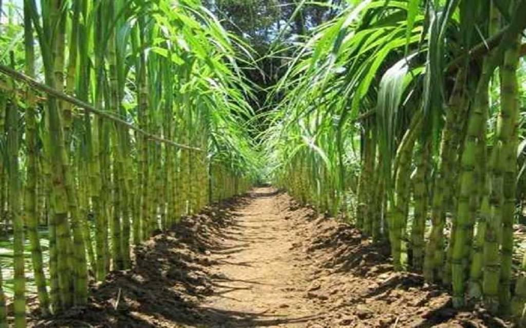 المحافظ: قنا تنتج أكثر من ثلث محصول قصب السكر في مصر