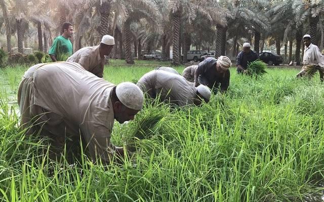مزارعون مصريون في الحقول- أرشيفية